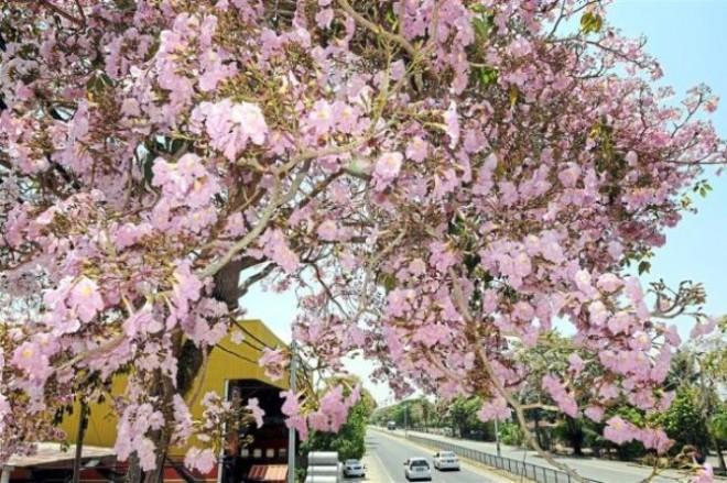 Tecoma trees (tabebuia rosea) in Alor Setar.