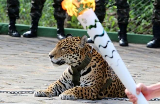 Juma the jaguar from Manaus.