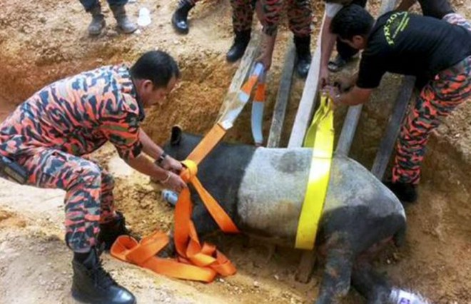 A Malayan tapir wandered into a village and was rescued by firemen.