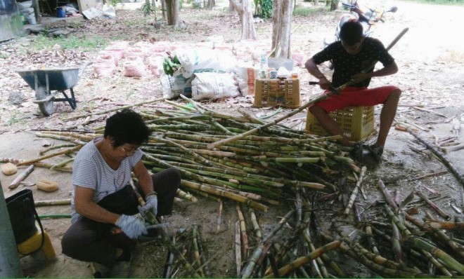 Kelantanese devotees have been harvesting sugarcane and processing them laboriously.
